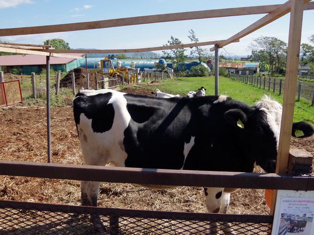 牛もいます!